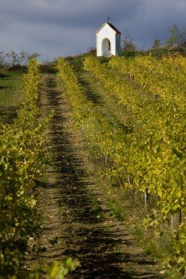 vineyard near Hnanice, Znojmo Region, Czech Republic