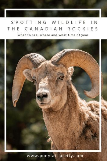 Where to see wildlife in the Canadian Rockies