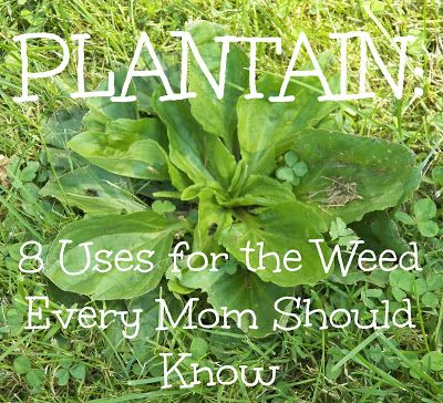 Plantain Weed - A common weed in the backyard has healing powers that everyone can use.