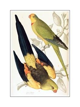 James Whitley Sayer-Black tailed Parrakeet Polytelis melanura and Green Leek Parakeet Polytelis barranandi_pe
