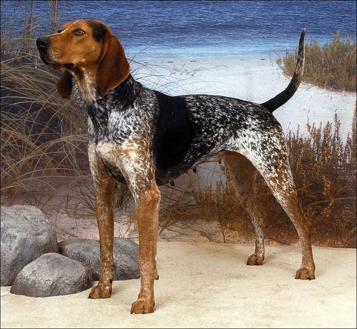 American English Coonhound known in the new world as virgina hounds  speed endurance for hnting fox and raccons