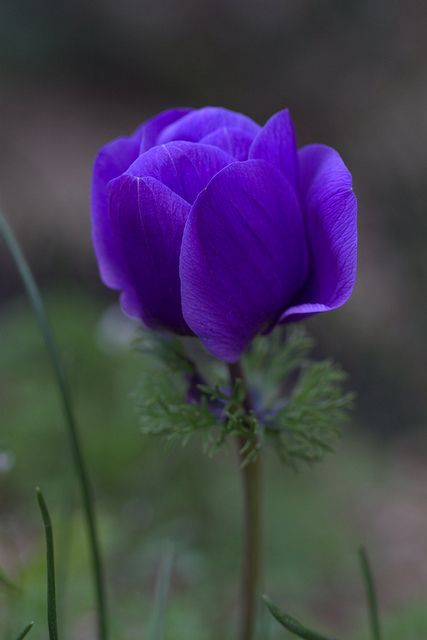 This Pin was discovered by Sue McKinney. Discover (and save!) your own Pins on Pinterest. | See more about anemones, purple and poodles.                                                                                                                                                     Más