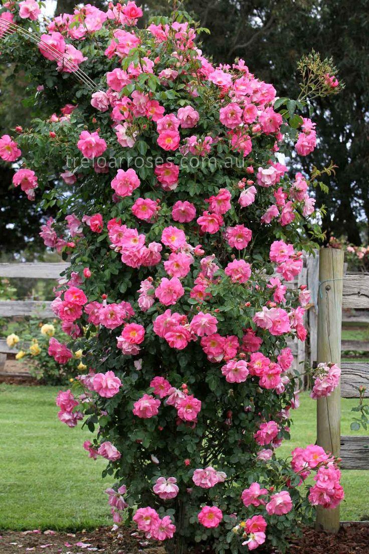 climbing rose bushes | Treloar Roses - CLIMB. MANITA ...