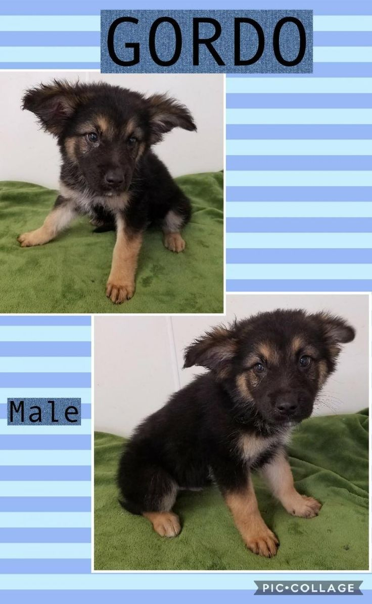 Gordo is an adoptable German Shepherd Dog searching for a forever family near Manchester, CT. Use Petfinder to find adoptable pets in your area.