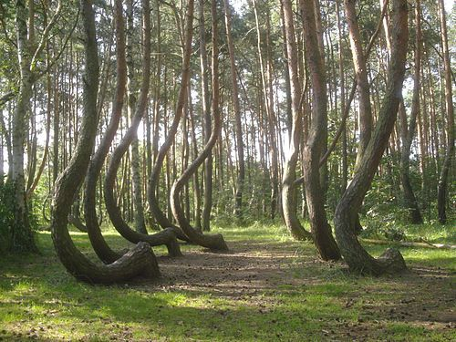 The Crooked Forest (Polish: Krzywy Las), is a grove of oddly-shaped pine trees located outside Nowe Czarnowo, West Pomerania, Poland.