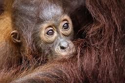 Orang Utan's time. Orang Utan's cute baby. Borneo Island. Nature Life.