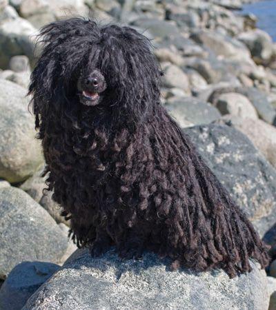 Six rare dog breeds