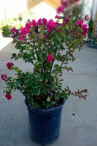 Grow crape myrtle from cutting. Best directions I have found so far !