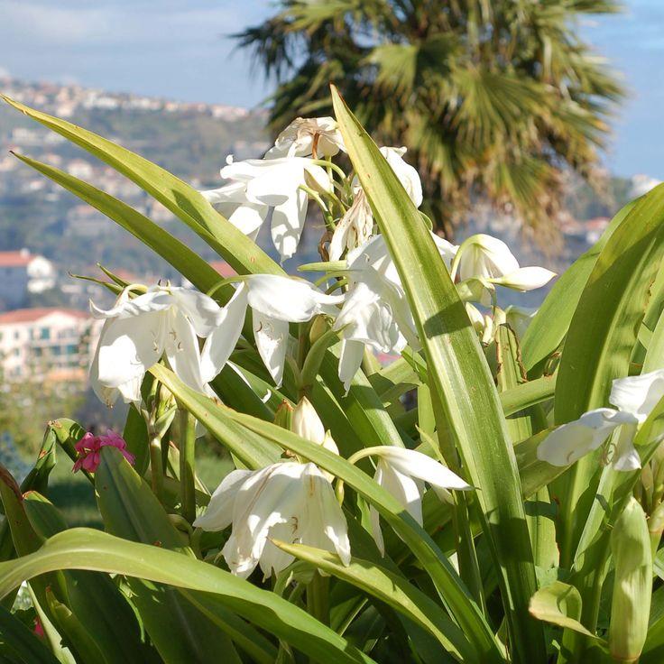 Amaryllis belladonna Alba en bulbe