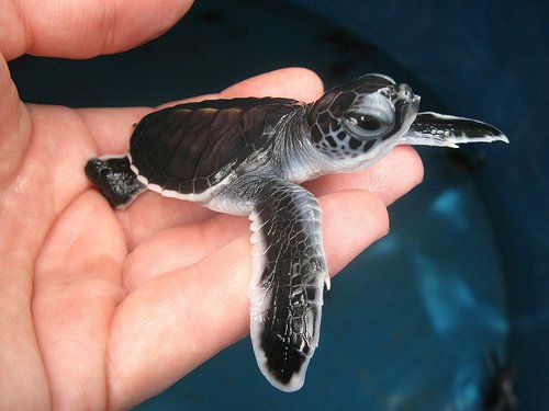 baby sea turtle! They are so tiny and cute.