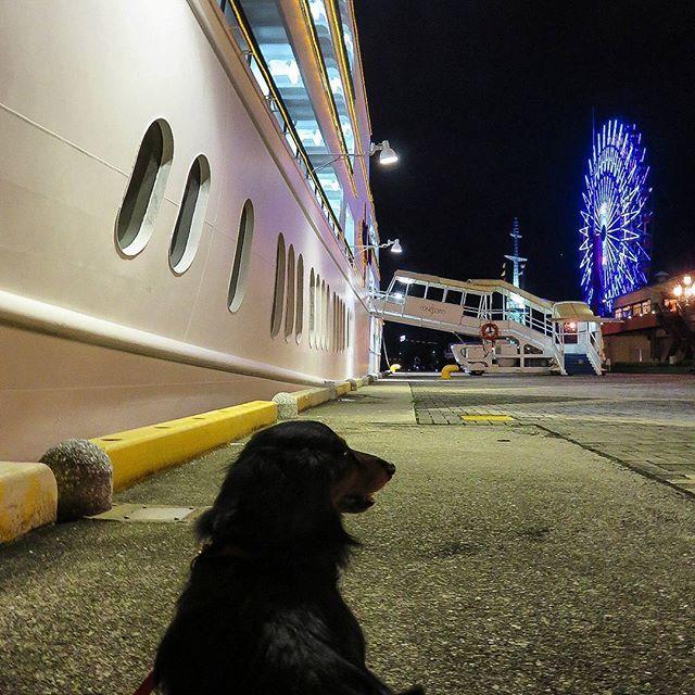 ご紹介させて下さい🐾フォローさせていただいている@happydoggie365 さんの救助犬チームの捜索活動が新規投稿されています。大変な状況での捜索頭が下がります。飼い主さんと同行避難が難しい...少しずつでも改善出来ますように... #九州豪雨 #日本レスキュー協会  #ありがとうございます  阪神淡路大震災当時、高浜岸壁で地震に遭遇、三日後から、国の依頼で、寸断された鉄道道路の代わりに、神戸--大阪間を人と救援物資を海上輸送、そして神戸港の復興のシンボルとして運行続けて来たコンチェルト🚢 地震で倒れなかった神戸ポートタワー 今も私は、おーちゃんと、 神戸港に来て、励ましてもらってます⚓  #おーちゃんです(´▽`)#dog#miniaturedachshund #KOBEHARBORLAND #kobe_port#cafe#how_lovely #ferriswheel #the_old_kobe_harbor_signal_tower…