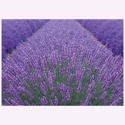 Lavender #postcards