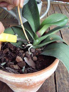 Suppression de la hampe sur l'orchidée: faire refleurir