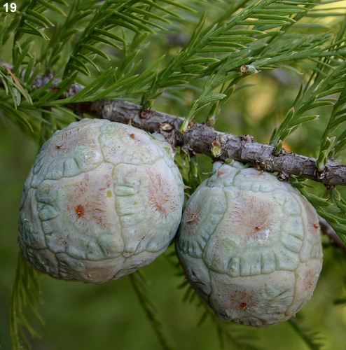 Bald Cypress Cones (still maturing)  Aren't they fabulous!?