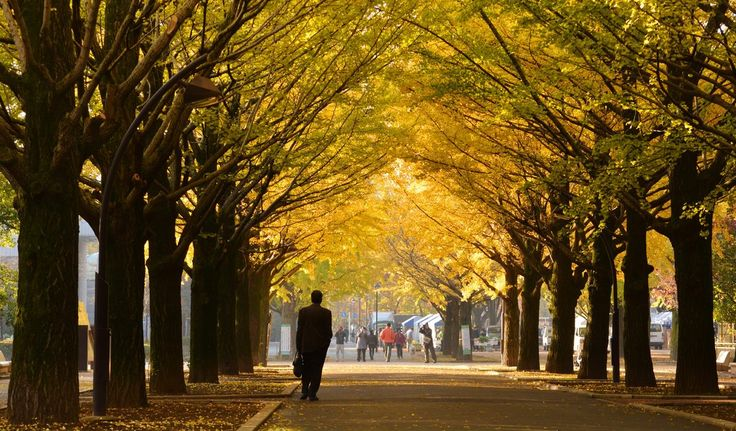 """Ginkgo Tree Tunnel, Japan In Japan, Ginko trees are known as the """"bearer of hope"""" or """"the survivor"""" after six trees survived the atomic bomb dropped on Hiroshima. Today there are around 65,000 trees, some which have formed tunnels around paths, in the region."""