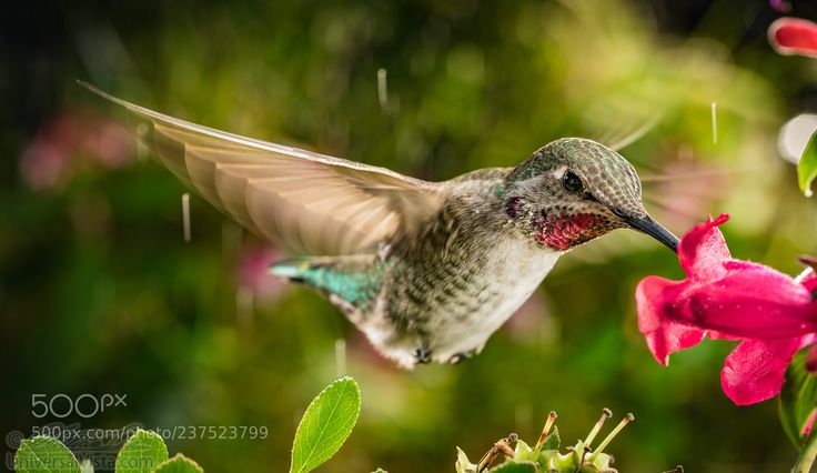 Hummingbird in vibrant natural colors (William Lee / PORTLAND / United States) #X-M1 #animals #photo #nature