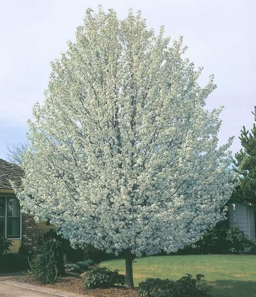 An easy-care tree that will stop traffic! This hardy and disease-resistant tree has a beautiful profile year-round. It is drenched in white blooms each spring, covered by glossy green foliage in summer, and features striking reddish purple-orange leaves in fall. Requires full sun for best color. Cold-hardy and heat-tolerant. Matures to be 30-40' tall and 15-20' wide.