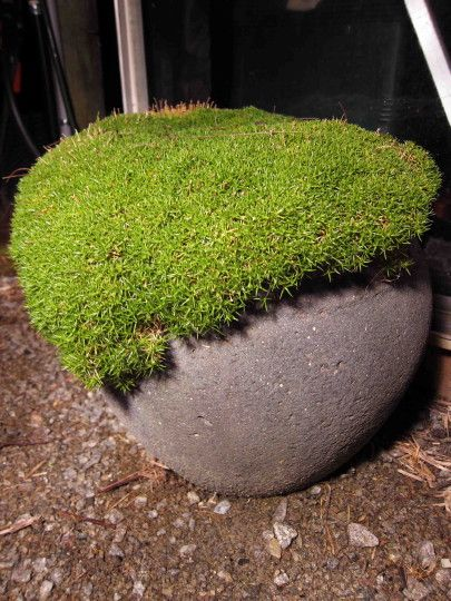 Australian native - scleranthus-biflorus-lime-lava  Lime lava 15cm h to 75-80cm spread  gorgeous ground cover or grow in pot cascading over.