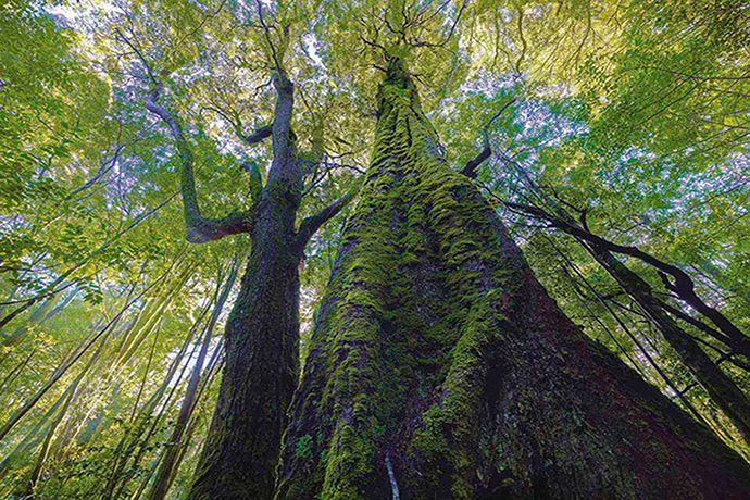 Rainforest giants in the Tarkine wilderness, Australia [Photo: Rob Blakers]