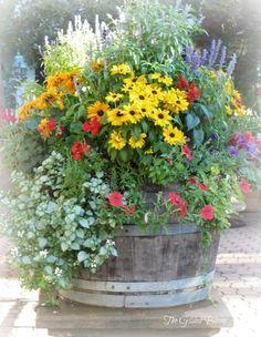 wine barrel garden - tall salvia, yellow rudbeckia & climbing petunias trail out of the barrel.