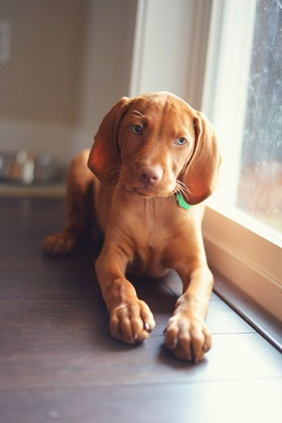 12 week old vizsla puppy
