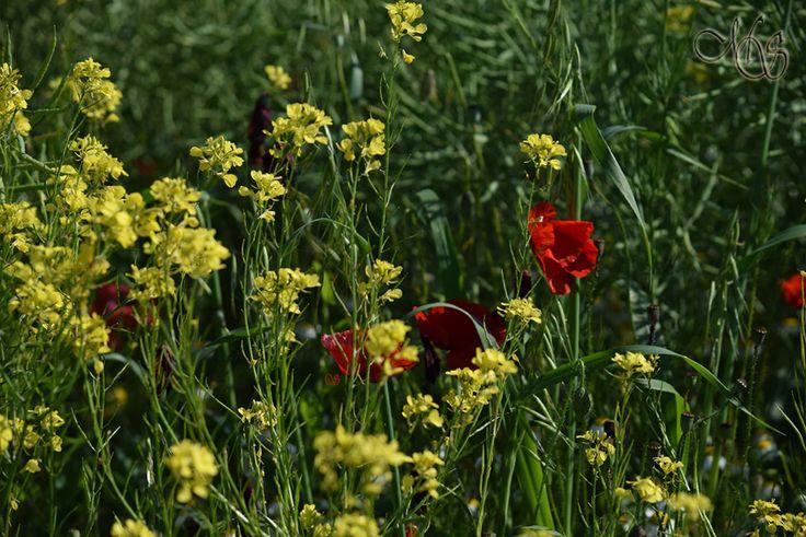 Aripi roșii pe câmpul galben