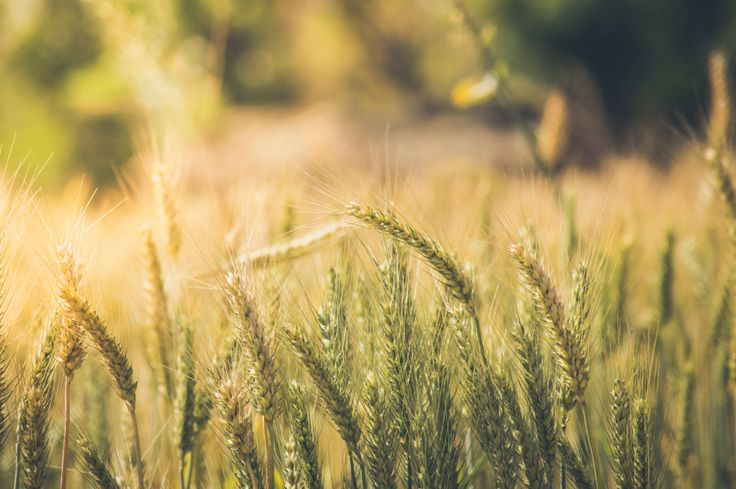 Wheat farming background