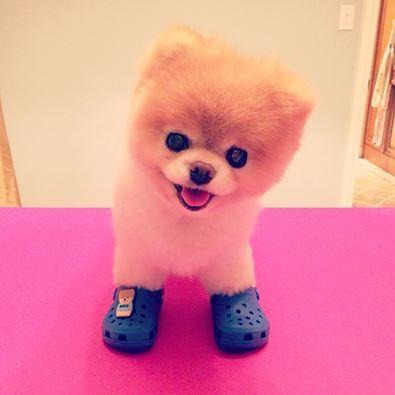 cachorro mais fofo do mundo, novo garoto-propaganda da marca Crocs.