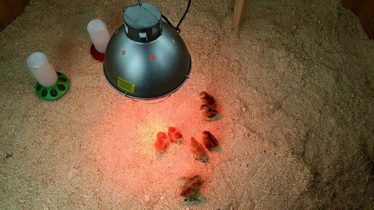 Rhode Island Red chicks at 3 days old