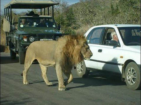 Kruger National Park Idiots. Please Obey the Kruger Park Rules. Visit with us by booking at:www.mountziontours.co.za