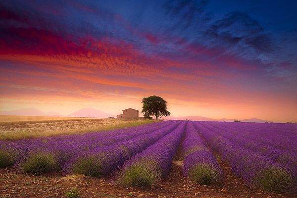"""""""Valensole Plateau"""". Lavender field in Provence. Available as regular print/canvas stretch/metal/framed. http://giovanni-allievi.pixels.com/featured/valensole-plateau-giovanni-allievi.html  #lavender #France #Valensole #Provence #summer #art #sunset #field #purple #print #photo #decorating #living #livingroom #decor #wall"""
