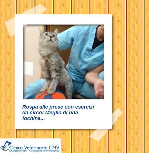 Fisioterapia Gatti - Varese - Milano  http://www.clinicaveterinariacmv.it/cmv-fisioterapia.html