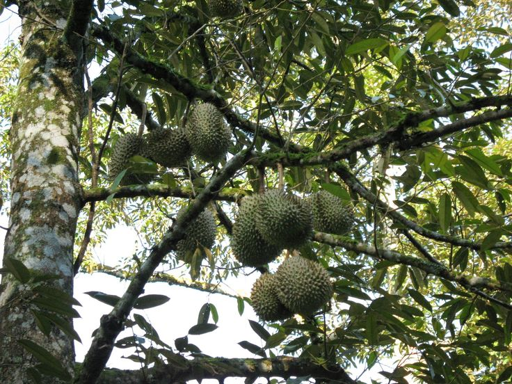 Durian can be cooked into delicious