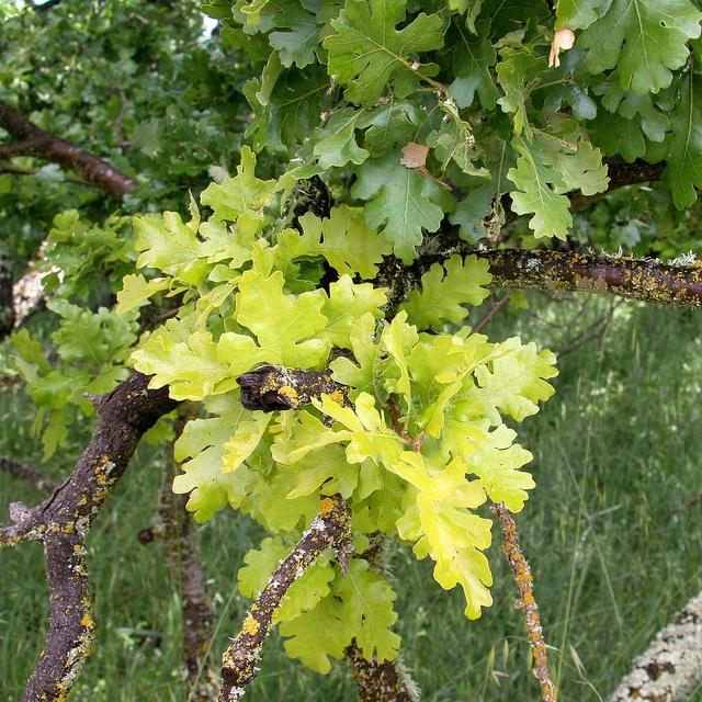23 Best Quercus Oak Images On Pinterest Acorn Advice