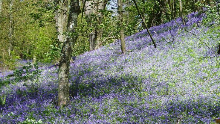 Spring buebells in Mottistone Gardens © National Trust Images