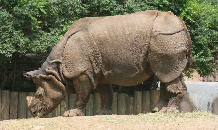 Indian Rhinoceros | Endangered Animals Facts, Wildlife Pictures ...