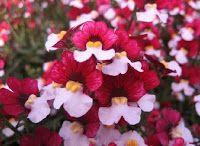 Nemesia red white Bunga yang cantik dengan perpaduan warna yang menarik. Cocok untuk di tanam di pot halaman rumah anda. Minat? sms 082214890085