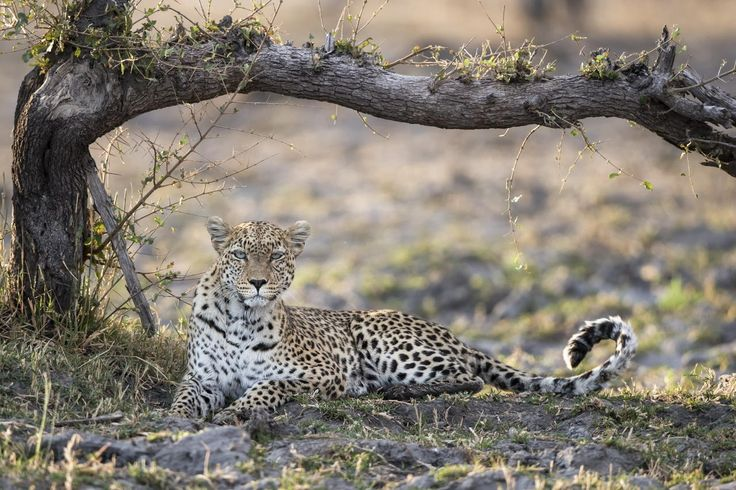 Leopard are among the big cats spotted around Qorokwe Camp