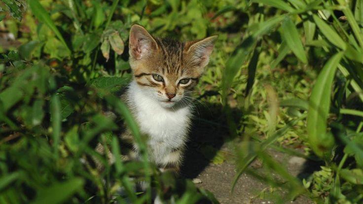 Quale misteriosa ricetta conoscono i gatti per saper dosare in modo così perfetto dolcezza e crudeltà, timidezza e aggressività, docilità e spirito selvaggio? (M. S. Emilson)