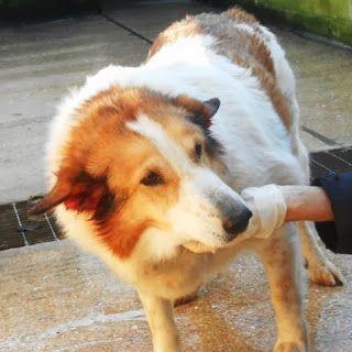 LINDA, incrocio collie in canile... la sua otite ha bisogno di cure adeguate! http://adottauncaneanziano.blogspot.it/2013/12/linda-incrocio-collie-in-canile-la-sua.html