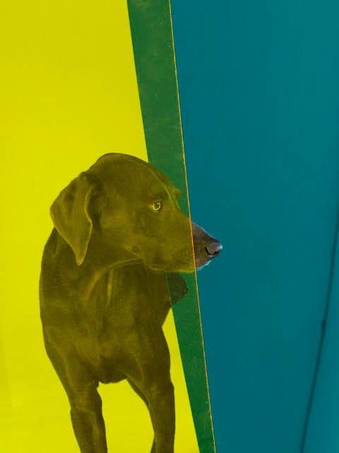 DOG ART, William Wegman's: Nosy Blue
