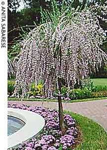 Train a fountain butterfly bush into a standard.