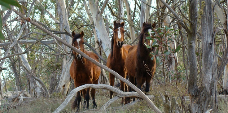 """Brumbies in the Snowy Mountains, Kosciuszko National Park. Always reminds me of Banjo Pattersons -The Man From Snowy River """"There was movement at the Station..."""" every Australian Primary School Child knows this poem."""