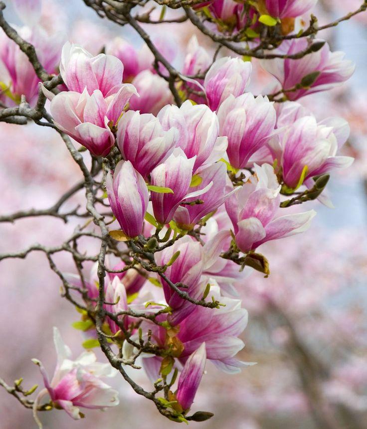 Magnolia caduc (ou magnolia tulipier / soulangeana
