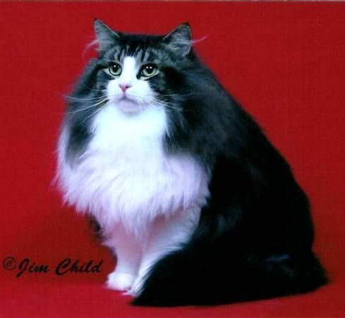 Kashi Saga - Our Kittens - Norwegian Forest Cat Breeder New Jersey, USA