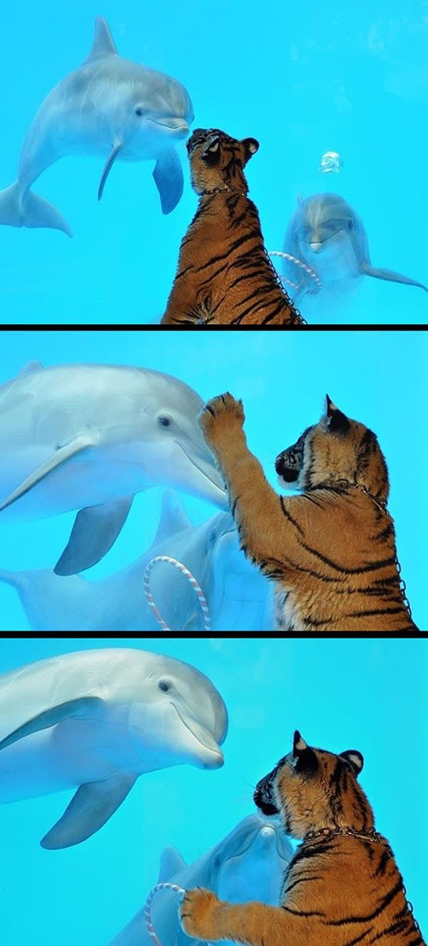 Dolphin & Tiger