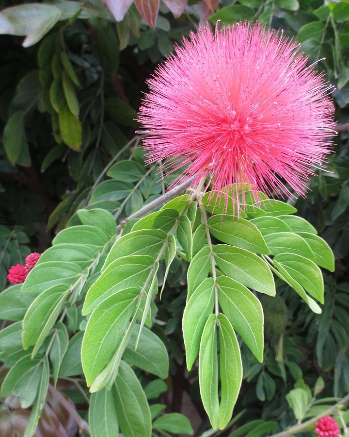 ✯ Brugmansia Blossom