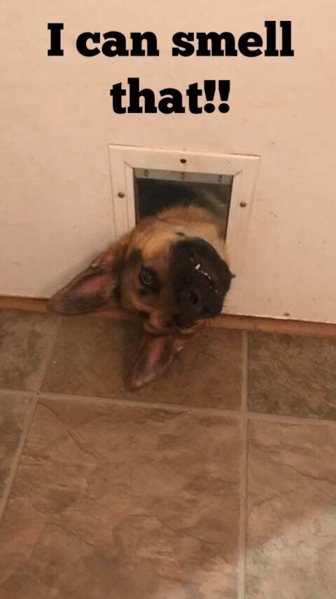 German Shepherds can be hilarious!