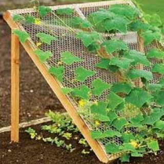 Grow beans or cucumbers up tue trellis to shade fast bolting plants like lettuce