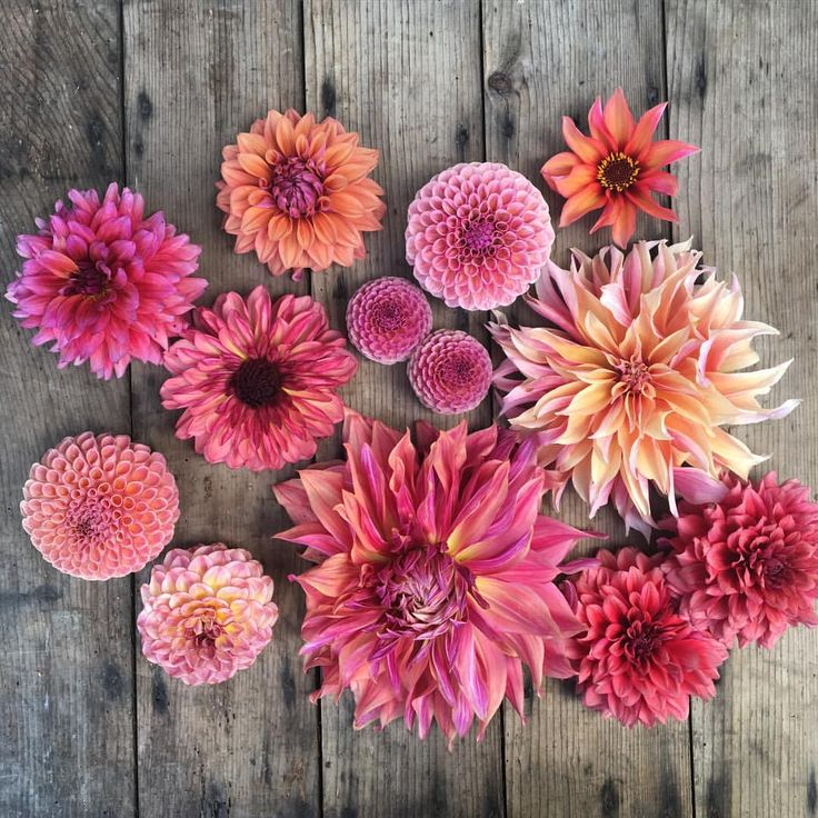 Berry-toned dahlias from floret flower farm. See this Instagram photo by @floretflower • 13.7k likes